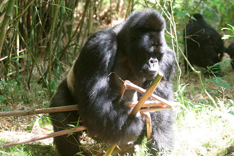 Bad light, great action. The silverback gathering a snack.