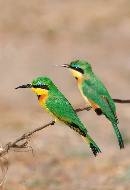 More Bee-eaters