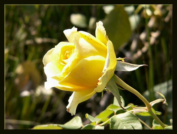 A DJW Rose