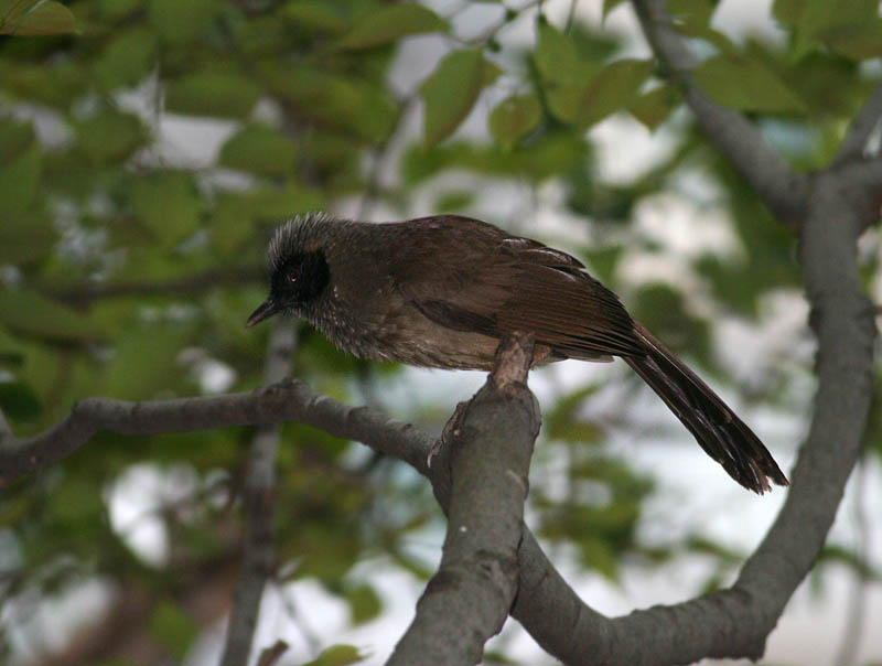 Masked Laughingthrush