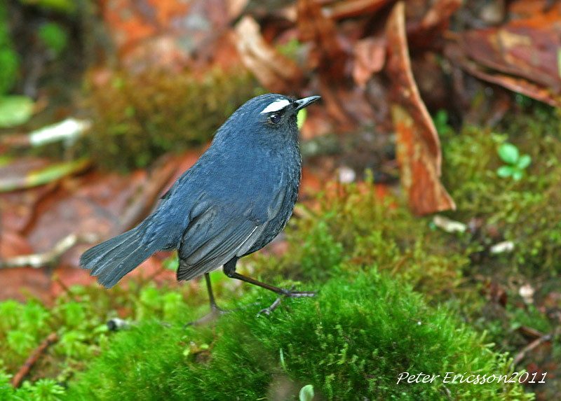 White-browed Shortwing