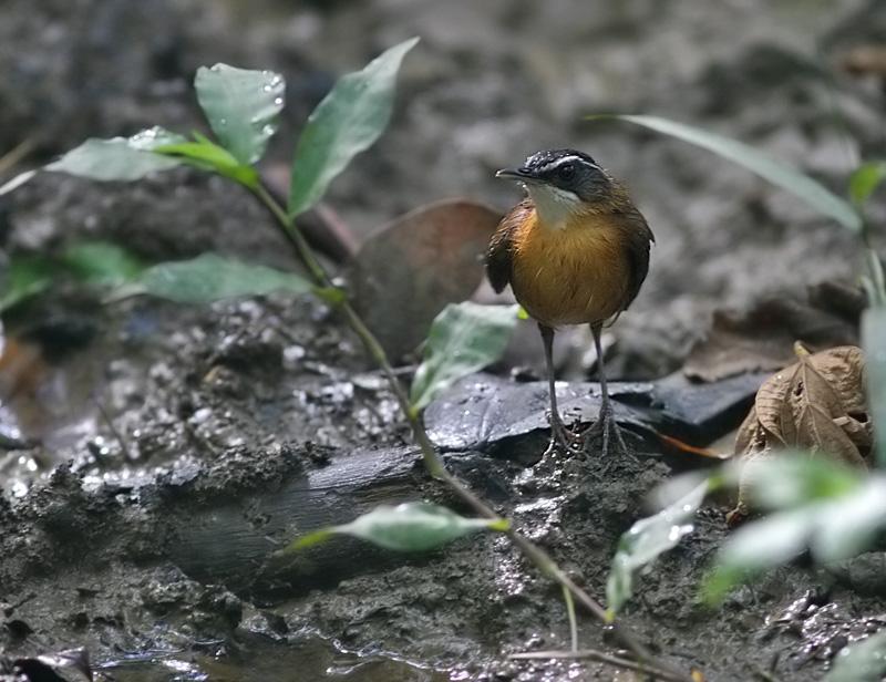 Black-capped Babbler
