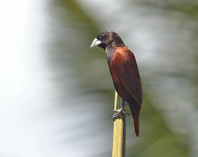 Chestnut Munia (Black-headed)