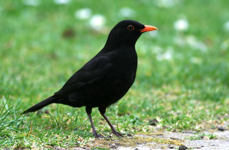Common Blackbird, male