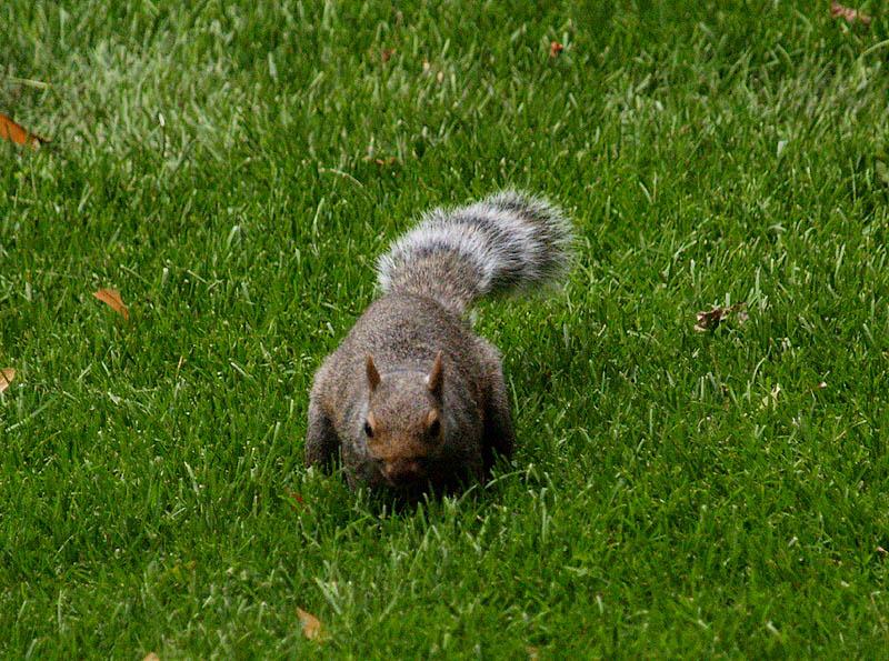 Rocky Racoon Squirrel