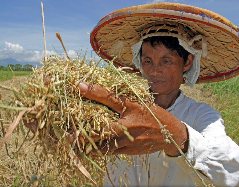 Closeup of woman  holding palay
