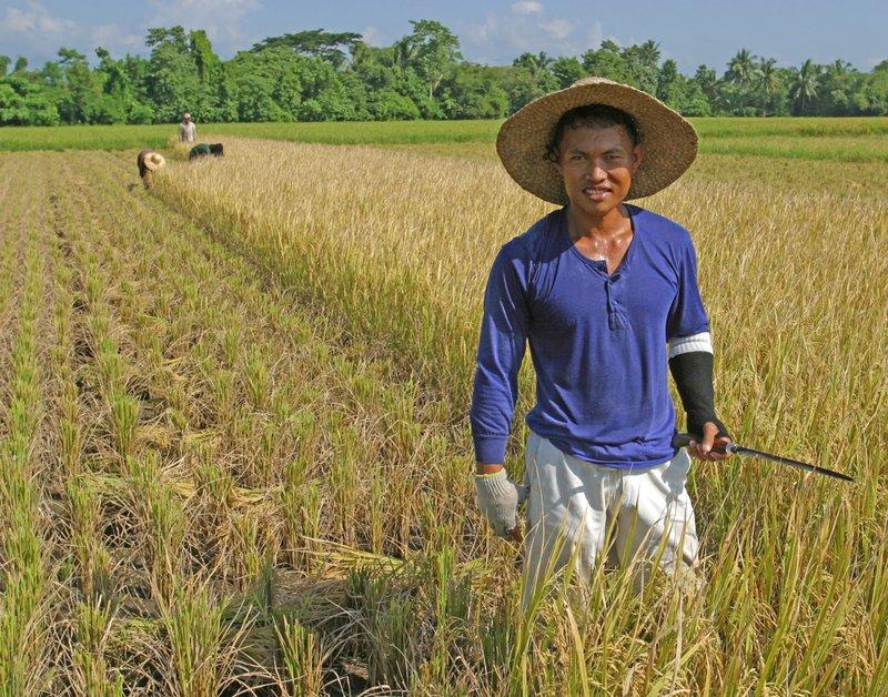 Harvesting Rice 01