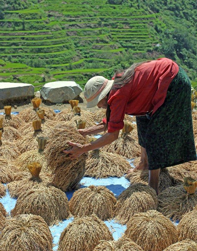 Upland Rice drying in Banaue