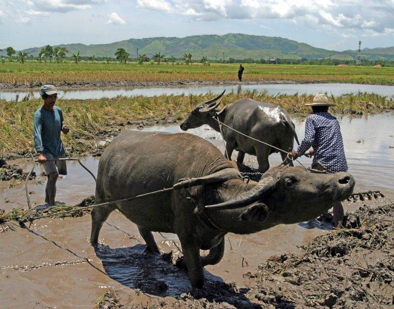 Water Buffalo plowing