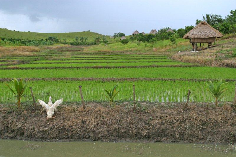 igorot home next to rice farm.jpg