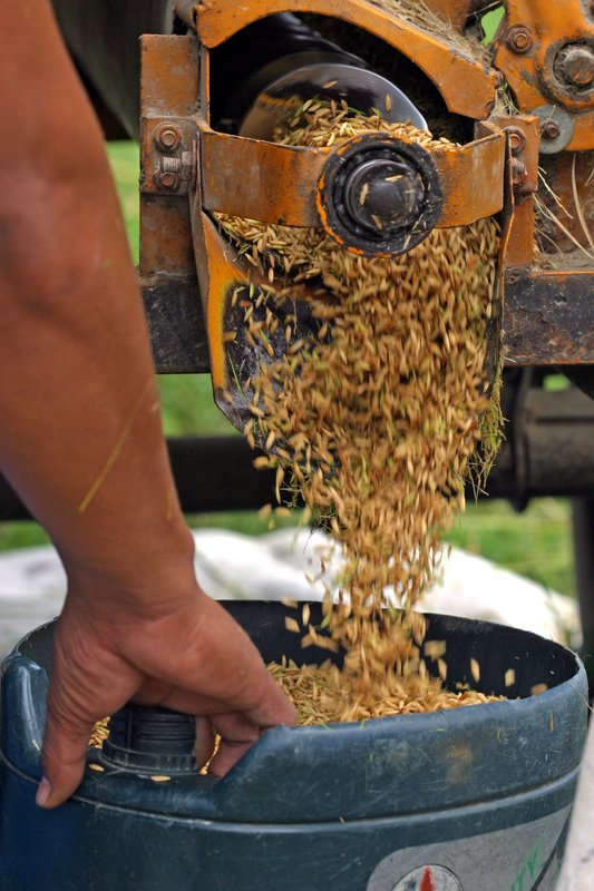 output of the rice thresher