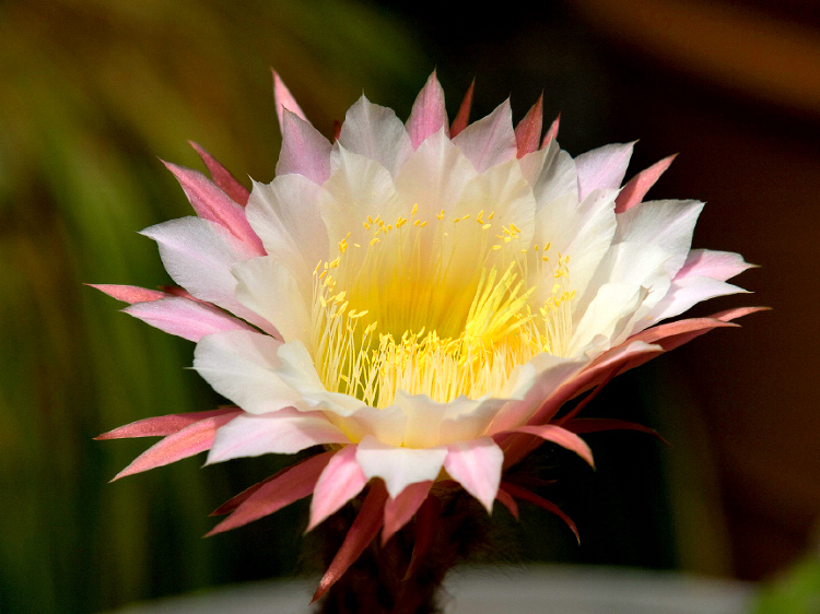 cactus flower NX adjust.jpg