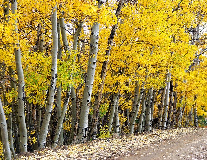 Yellow Trees Web ADJ.jpg