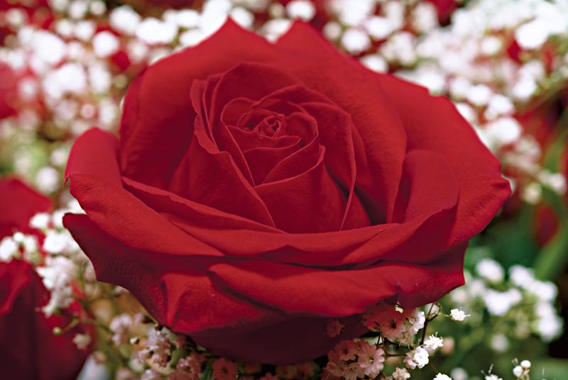Final Rose 800.jpg