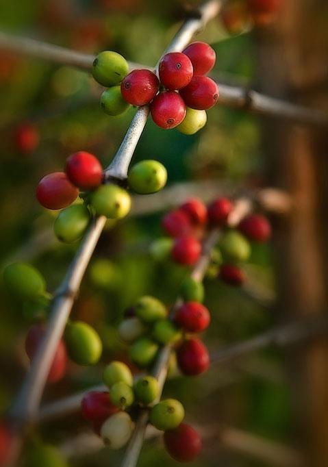 Kona coffee cherries VI