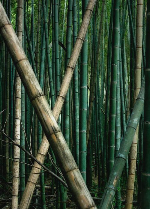 Sagano-Arashiyama bamboos