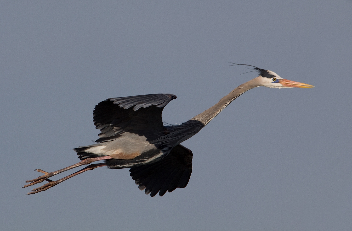 Honey, Im Home! (Great Blue Heron)