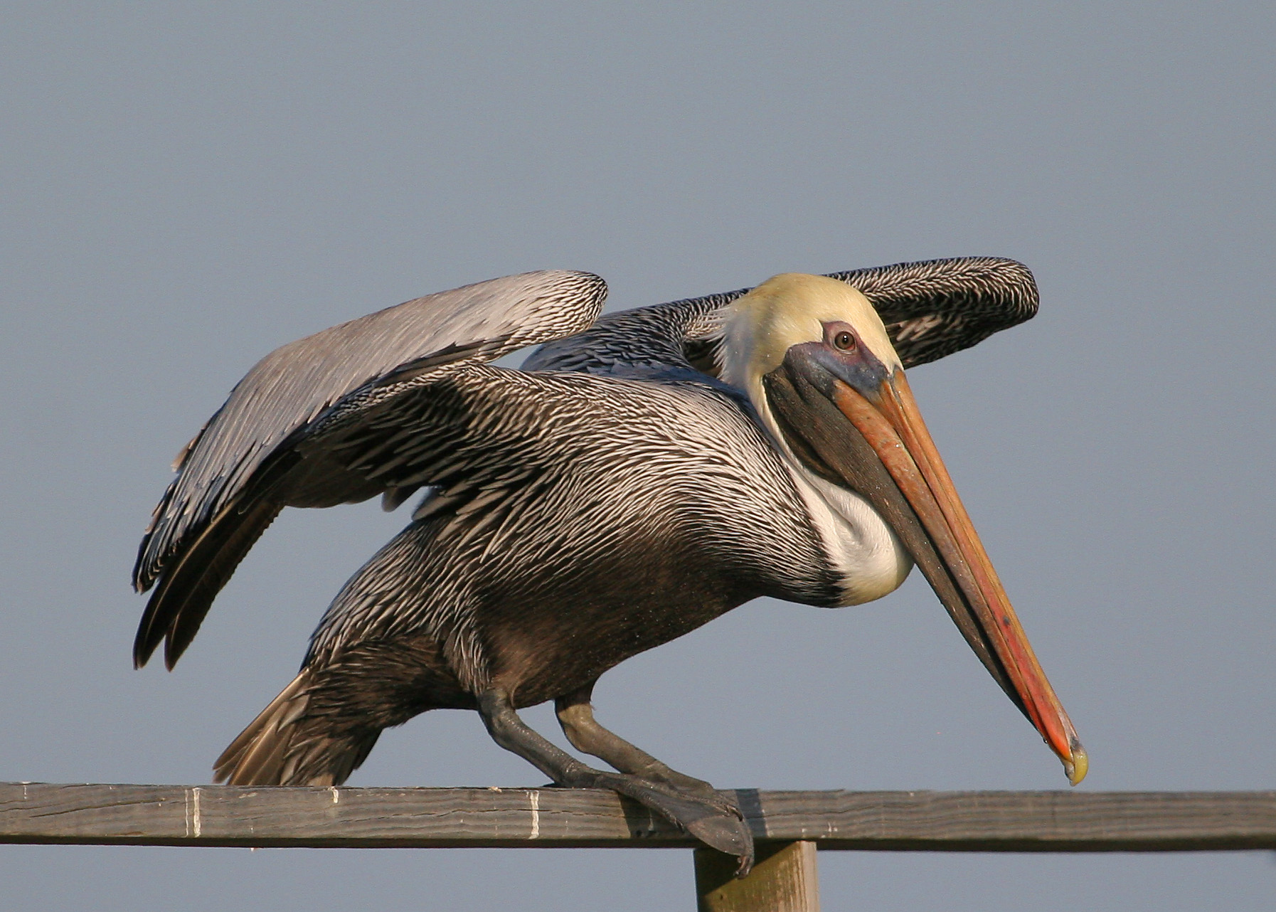 Pelican Launching