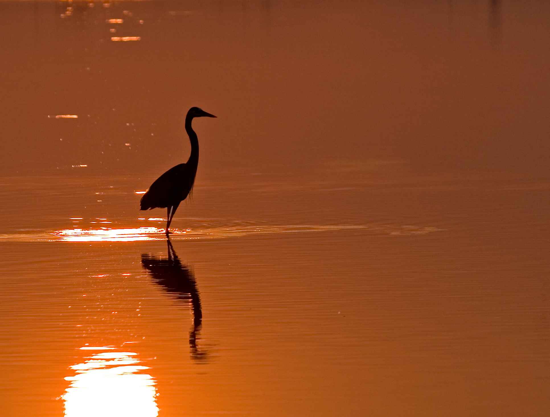 Soft Morning Glow (Great Blue Heron)
