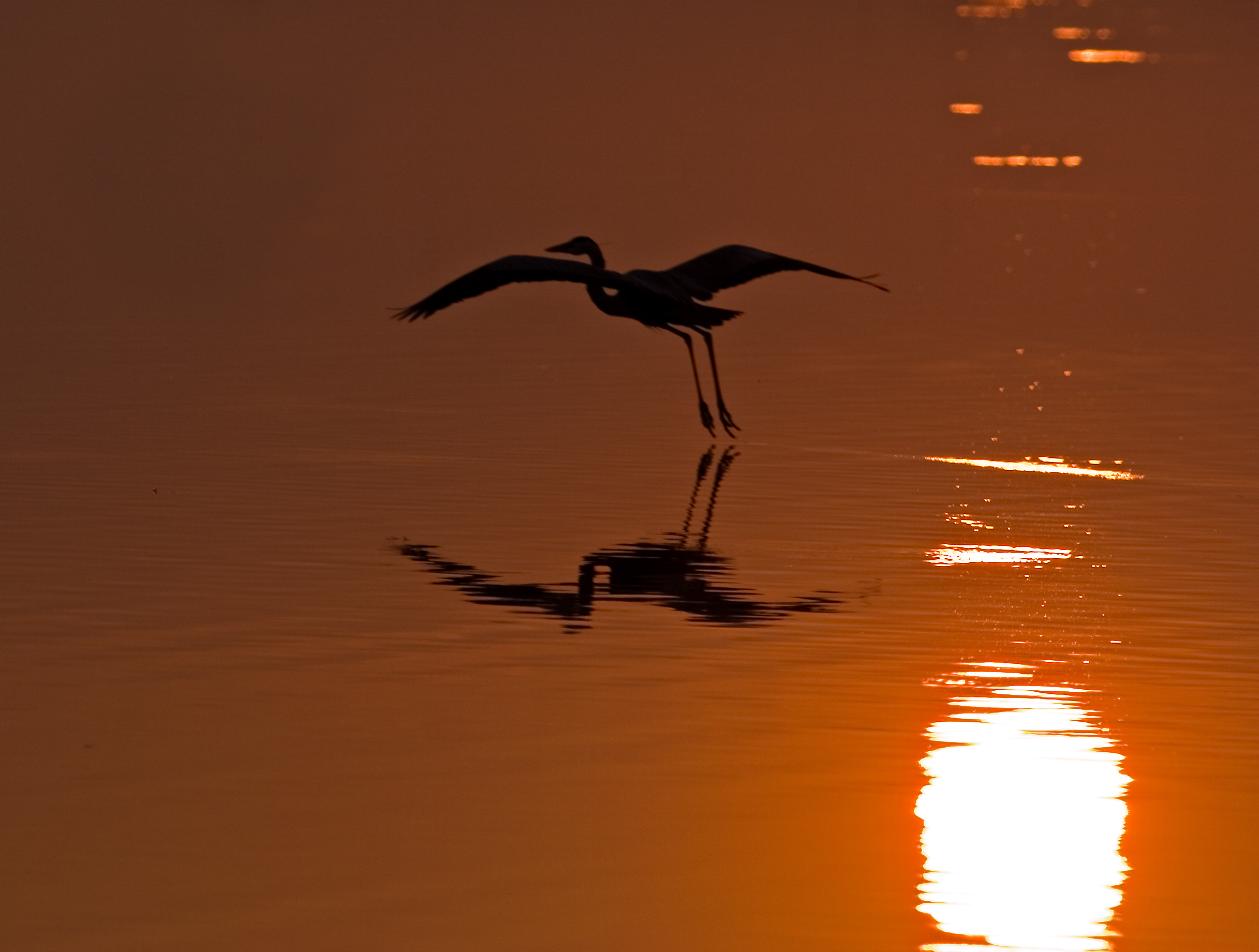 Morning Flight 2 (Great Blue Heron)