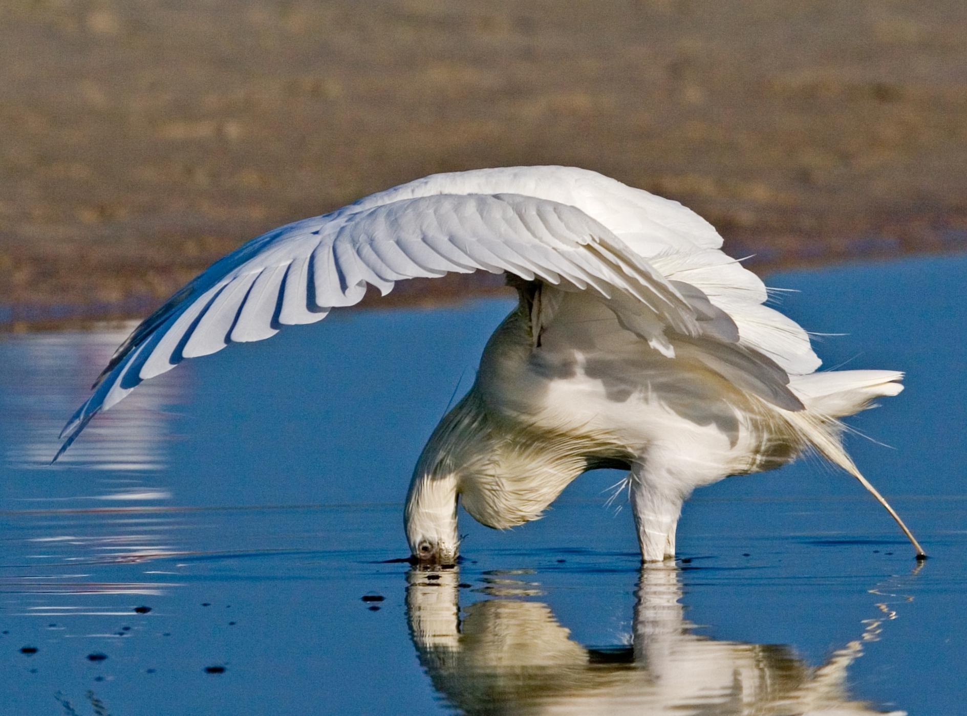 The Canopy Strike (Reddish Egret White Morph)