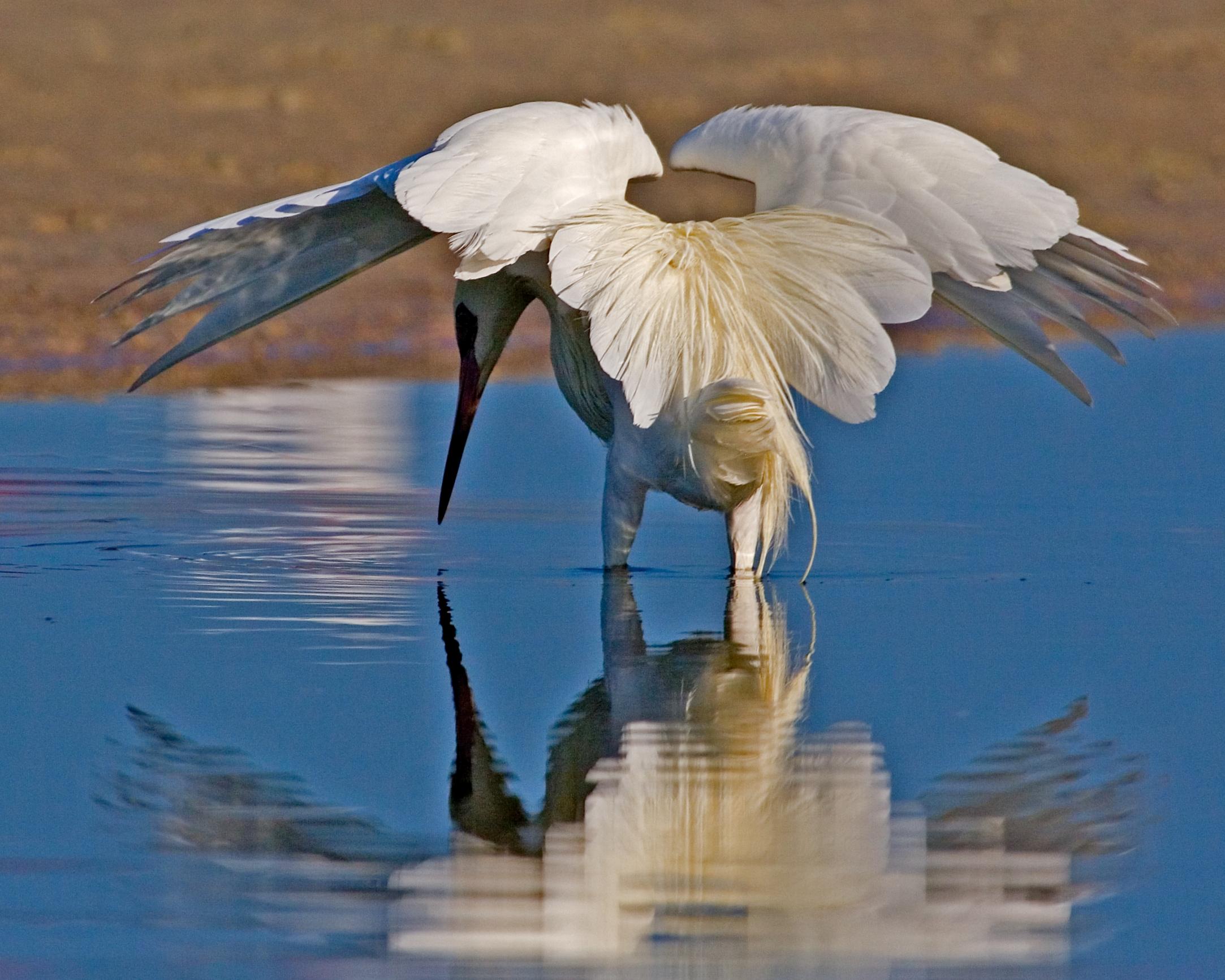 Matadors Cape (Reddish Egret White Morph)