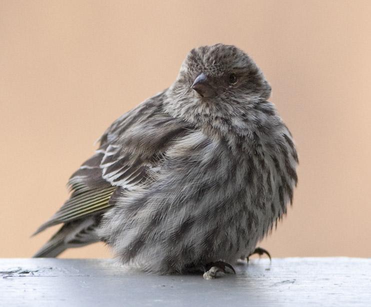 _MG_6842 cold bird