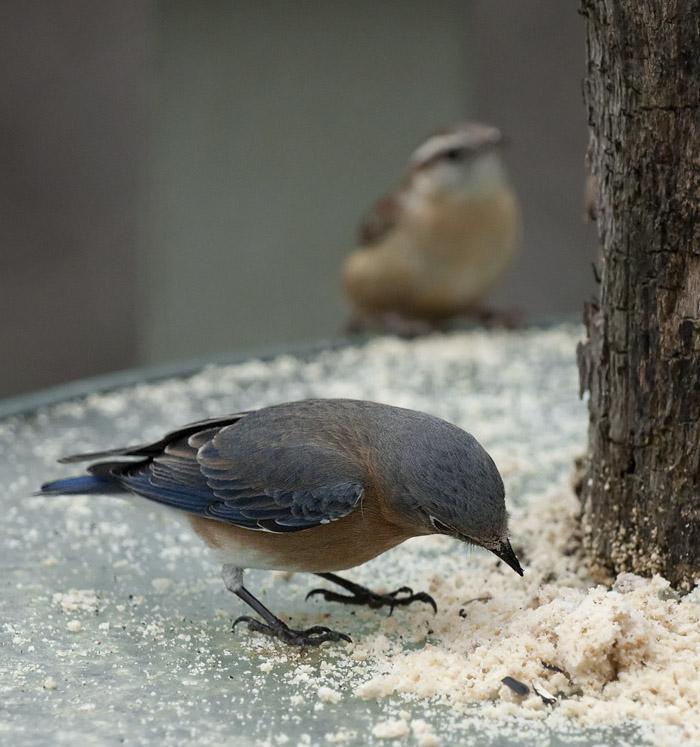 _MG_7358 Mrs. Bluebird