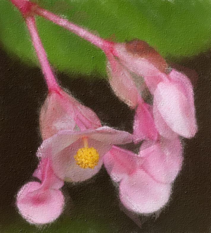 _MG_9707 Perennial Begonia Blossoms