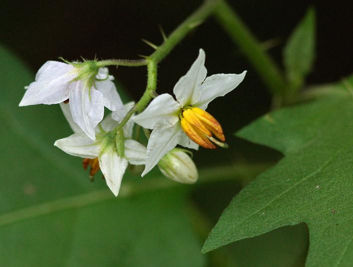 _MG_9708 Horse Nettle Flower