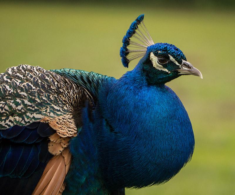 P1040080 Peacock