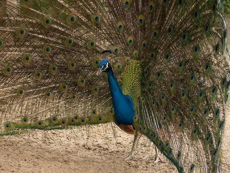 P1040181 Peacock at Magnolia Plantation