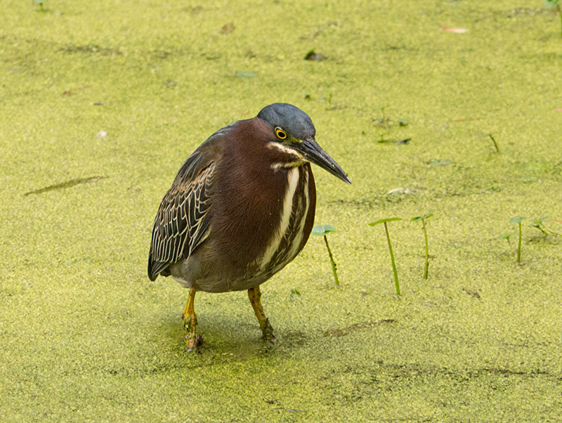 P1040296 Little Green Heron Closer