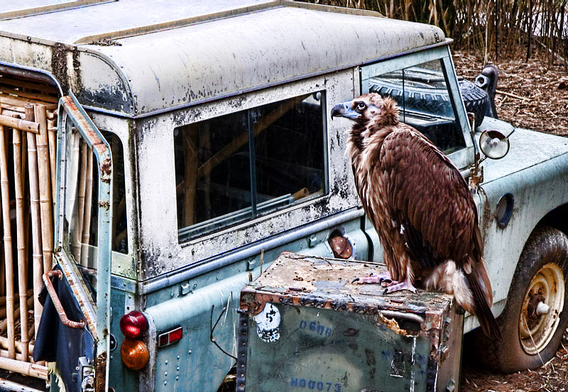 _MG_6506 Vulture