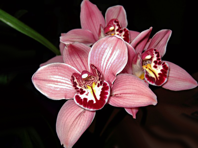 Priscillas Orchids