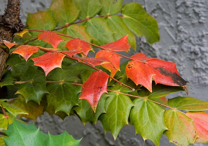 IMG_0055 Holly leaves