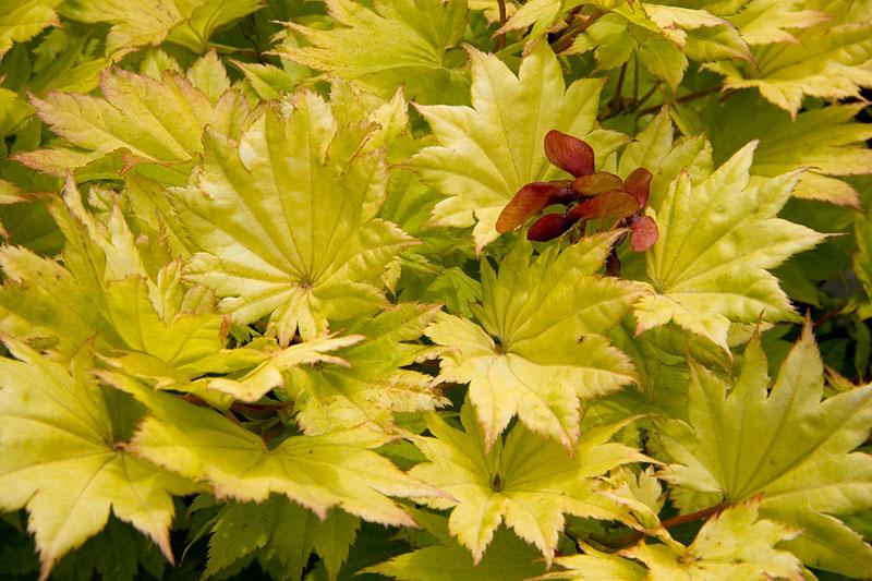 IMG_0080 Golden Leaves