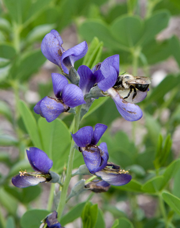 IMG_0110 Purple Flowers Bee