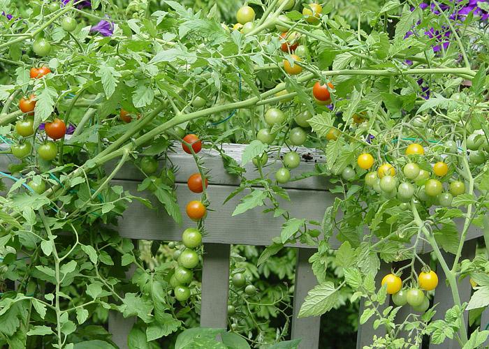 DSC02390 Salad Tomatoes
