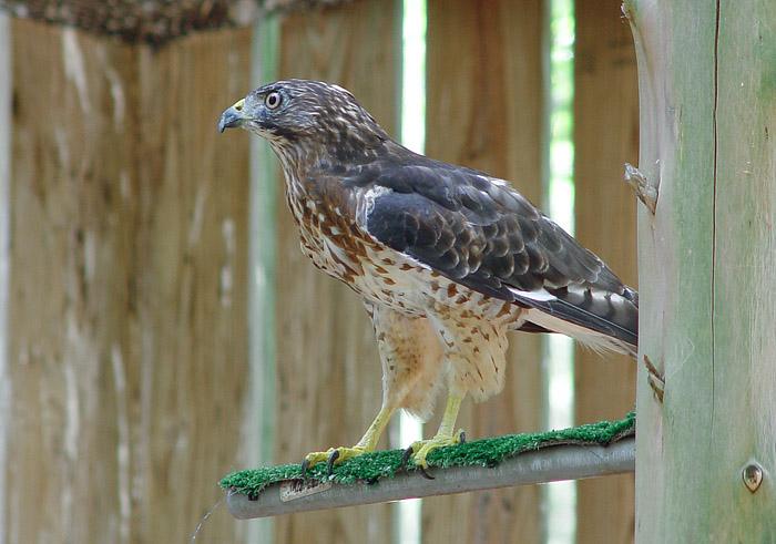 DSC02447 Hawk
