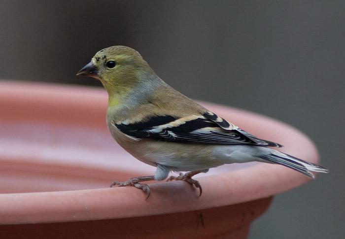 _MG_0322 Gray Day Goldfinch