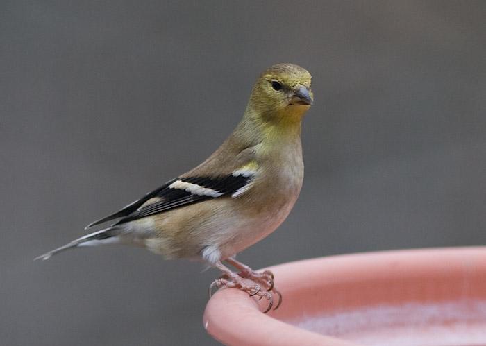 _MG_0323 Goldfinch Attitude