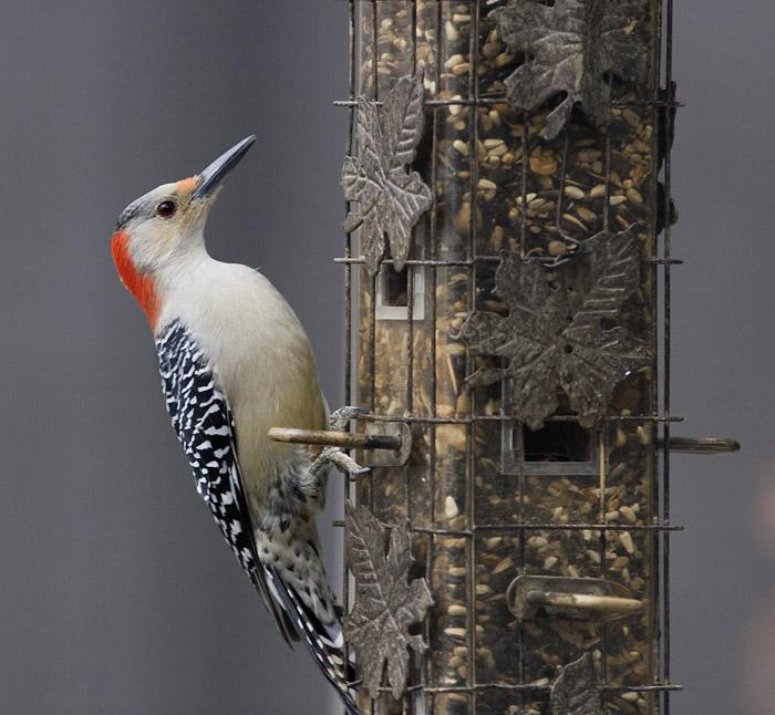 _MG_0340 Red Bellied Woodpecker