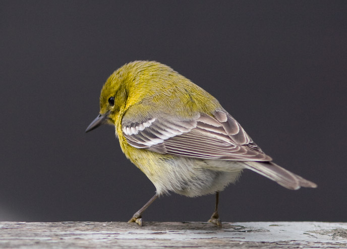 _MG_0813 Pine Warbler