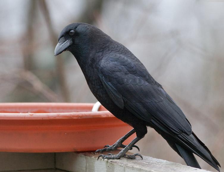 _MG_0829 Wary Crow