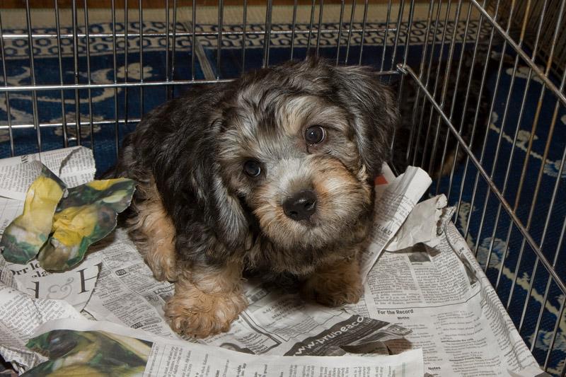_MG_5354- Precious Dandie Dinmont Puppy. Disher
