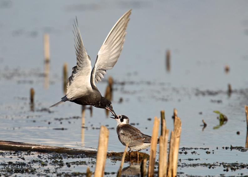 Black Tern feeding young one. Horicon Marsh, WI