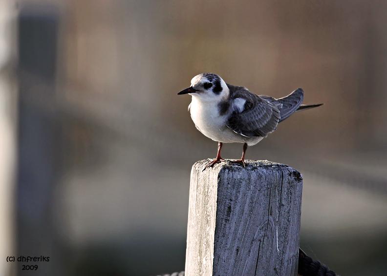 Black Tern. Horicon Marsh. WI