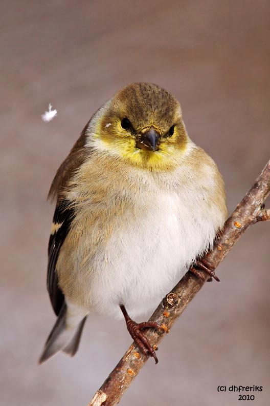 American Goldfinch. Chesapeake, OH