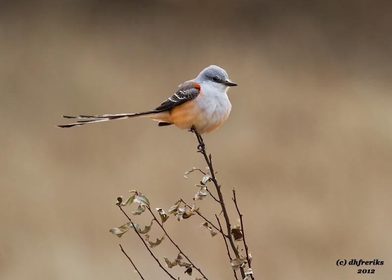 Scissor-tailed Flycatcher. Ozaukee Co, WI